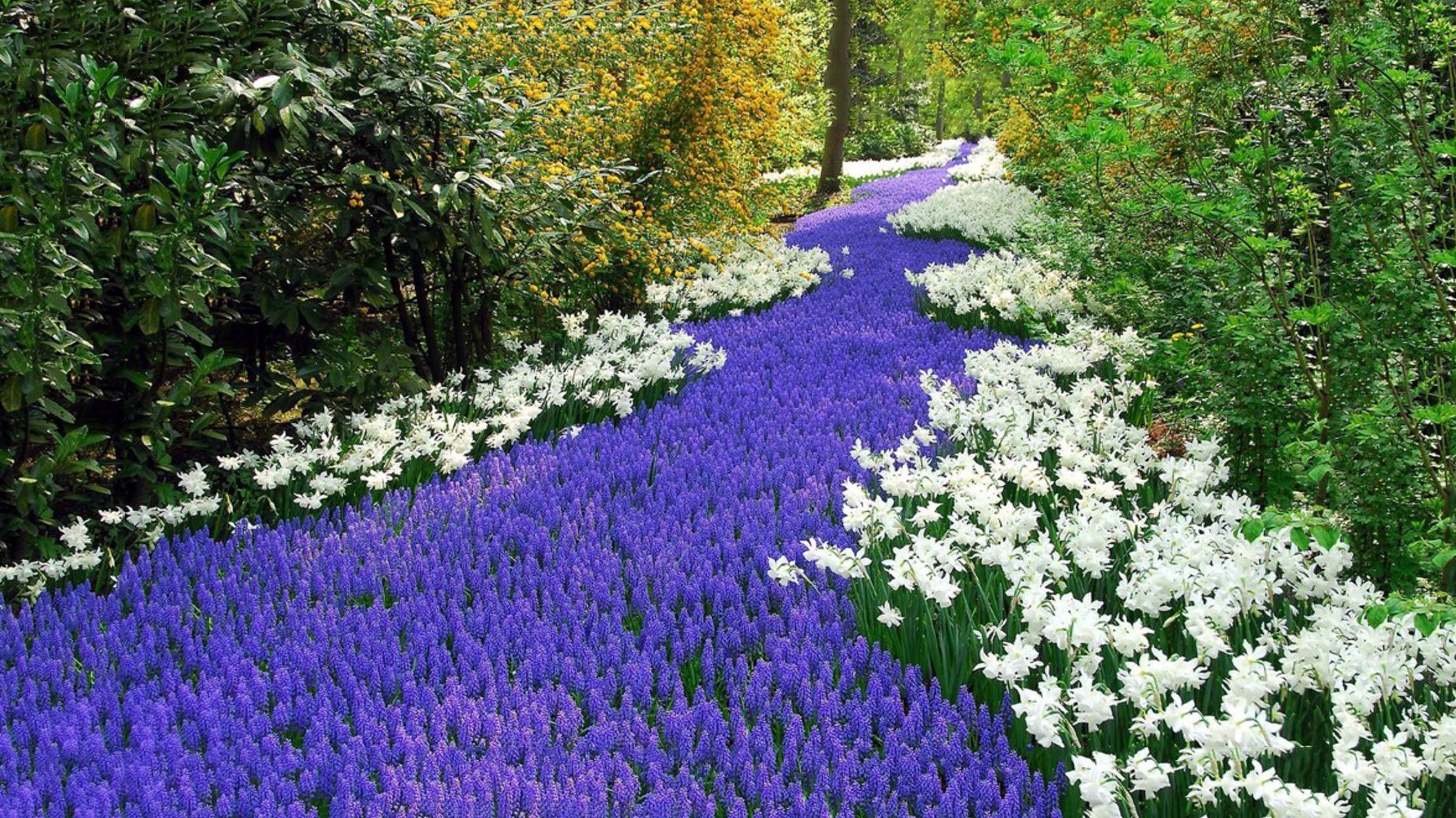 Olandijos gėlynai - vynuoginis hiacintas