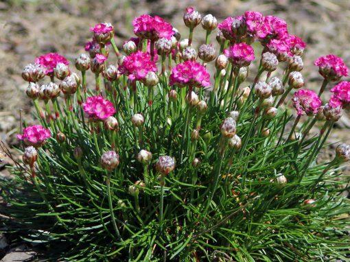 Gėlės nuotrauka. (Pavadinimas: Pajūrinė gvaizdė)