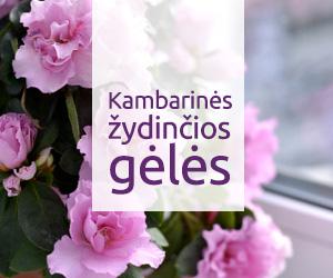 Kambarinės žydinčios gėlės | Namuose auginamų, žydinčių gėlių rūšys aprašymai ir nuotraukos