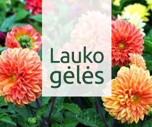 Lauko gėlės | Lauke auginamų gėlių rūšys aprašymai ir nuotraukos