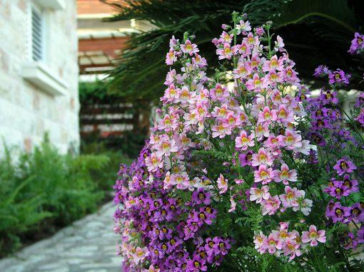 Gėlės nuotrauka. (Pavadinimas: Poor Man's Orchid)