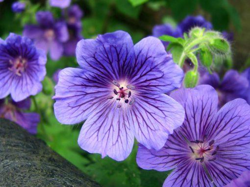 Gėlės nuotrauka. (Pavadinimas: cranesbill)