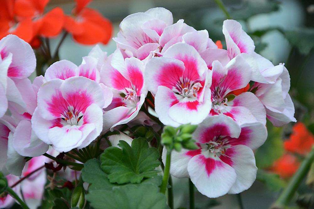 Gėlė Geranija (Geranium)