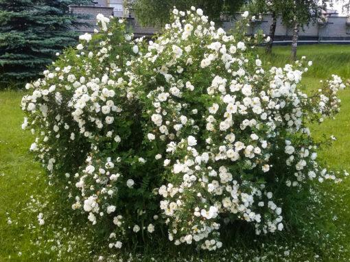 Gėlės nuotrauka. (Pavadinimas: Raukšlėtasis erškėtis)