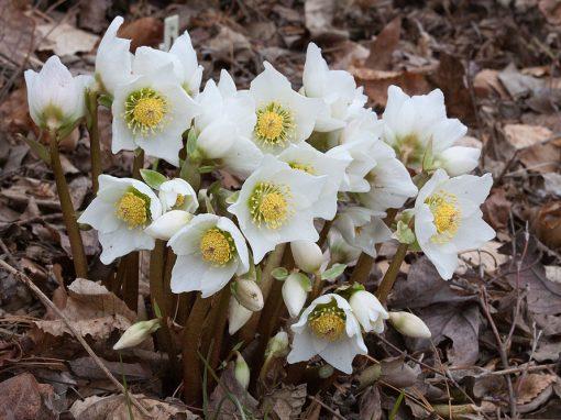 Gėlės nuotrauka. (Pavadinimas: Eleboras)