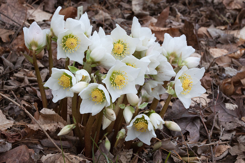 Gėlė Eleboras