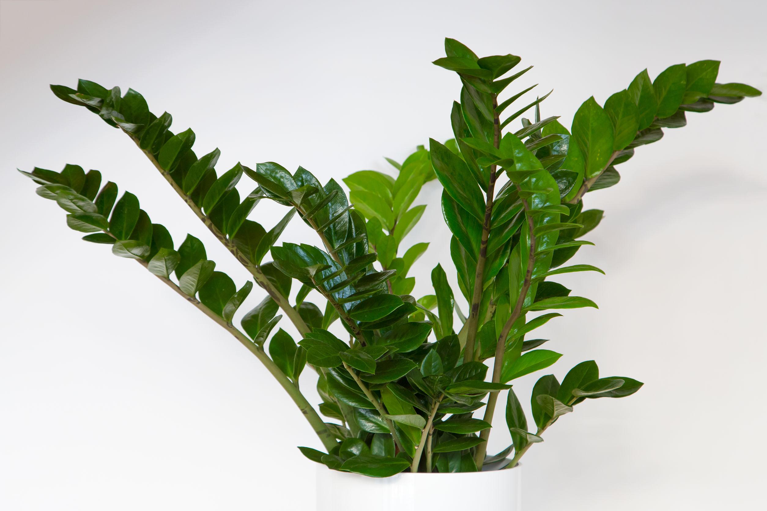 Pinigų medis (Zamiokulkas)