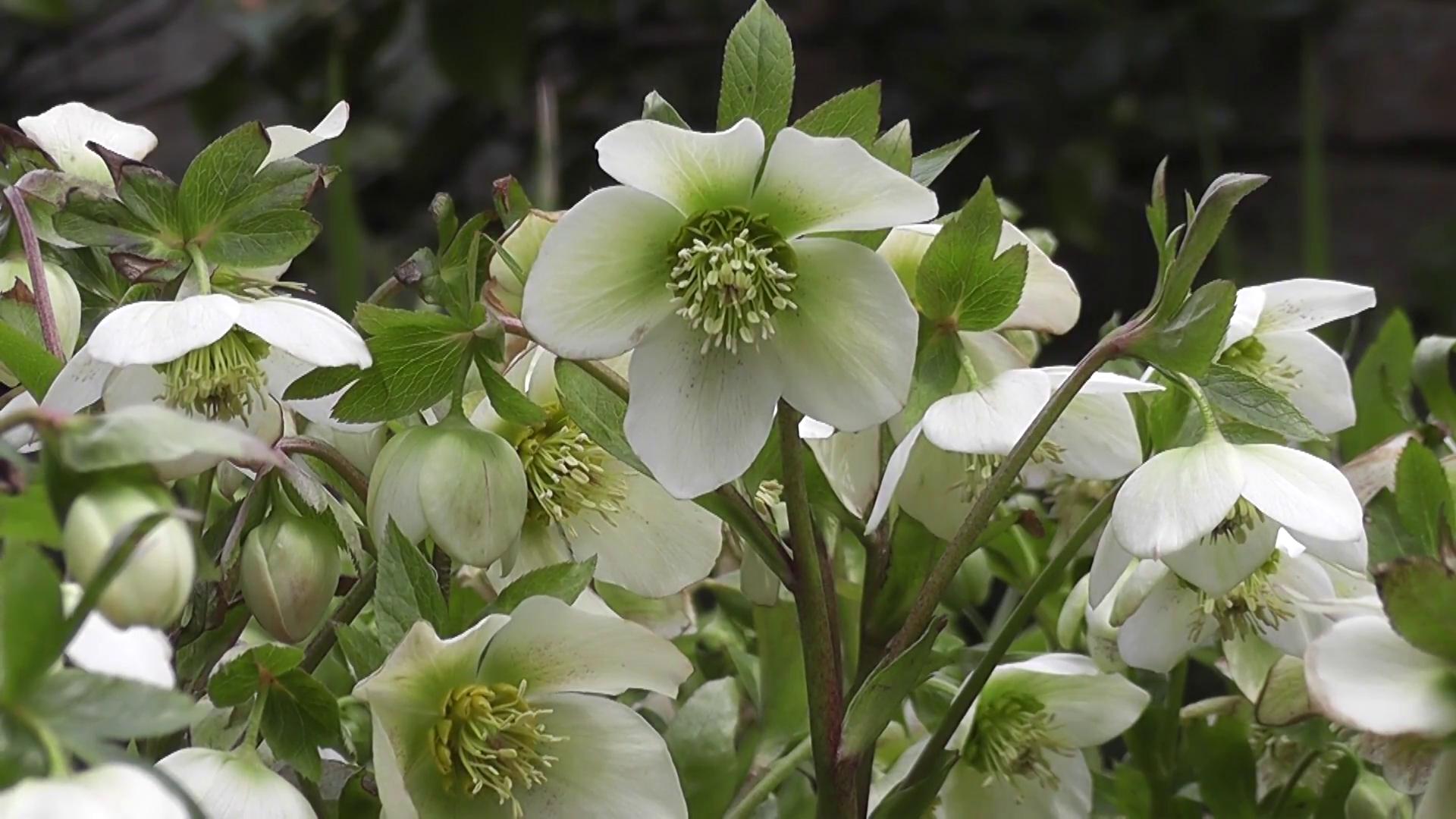 Žalsvai baltos lauko gėlės eleborai