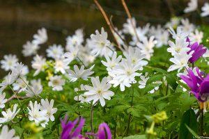 Altajinė plukė (anemone altaica)
