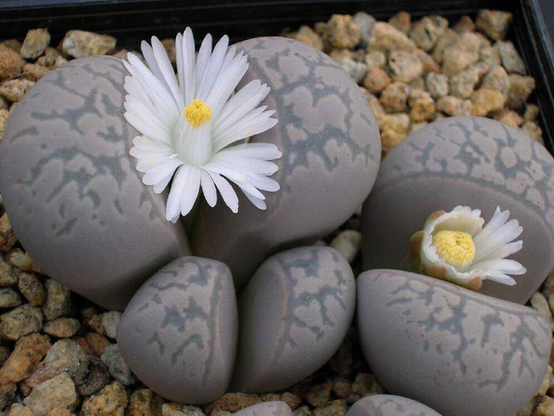 Gėlė Litopas