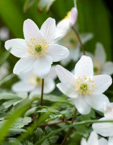 Baltažiedės plukės (auga natūraliai)