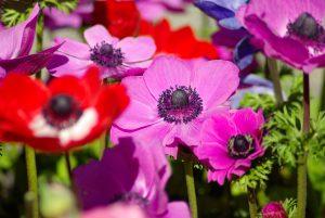 Darželinė plukė (anemone)