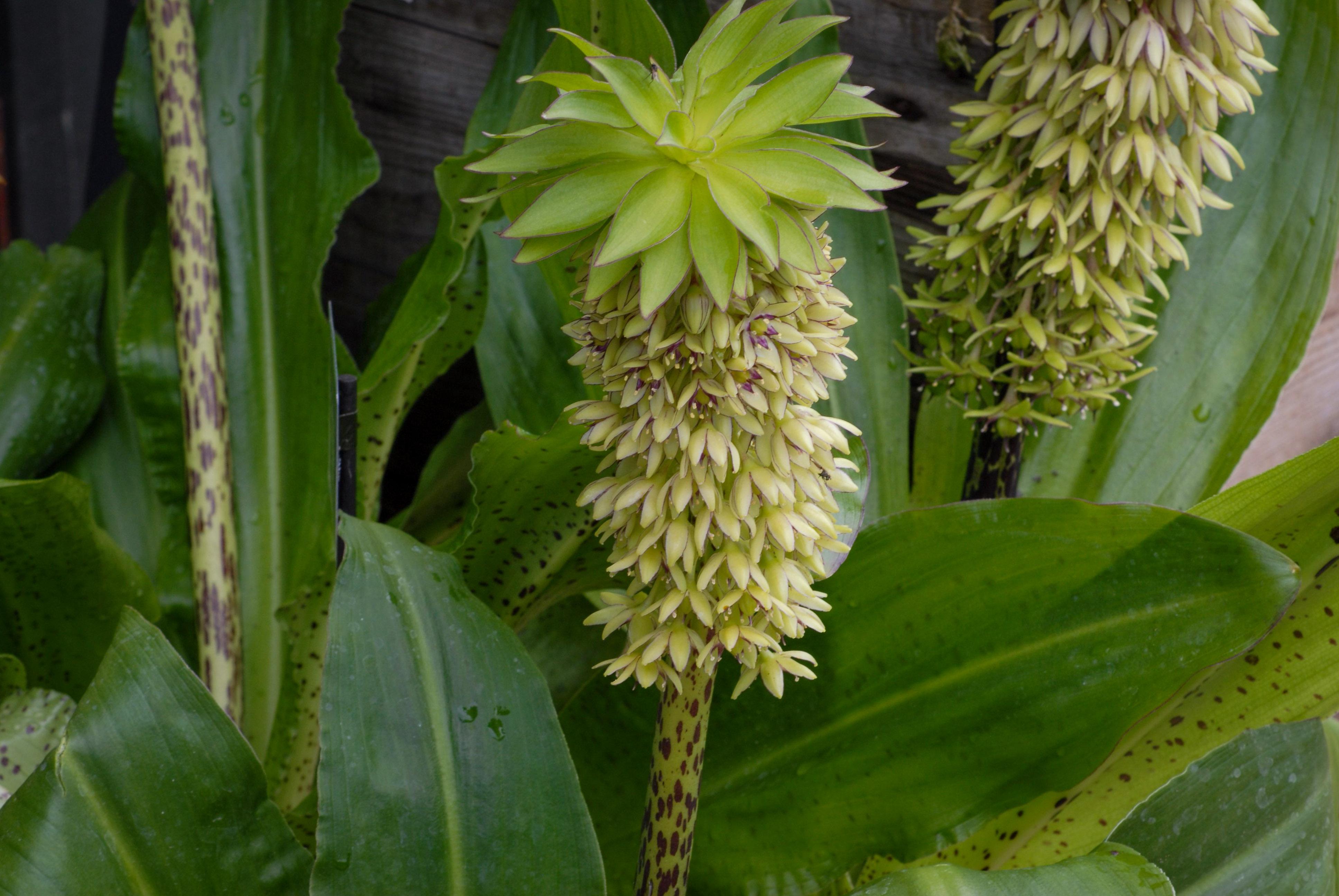 Eukomis (Ananasinė lelija)