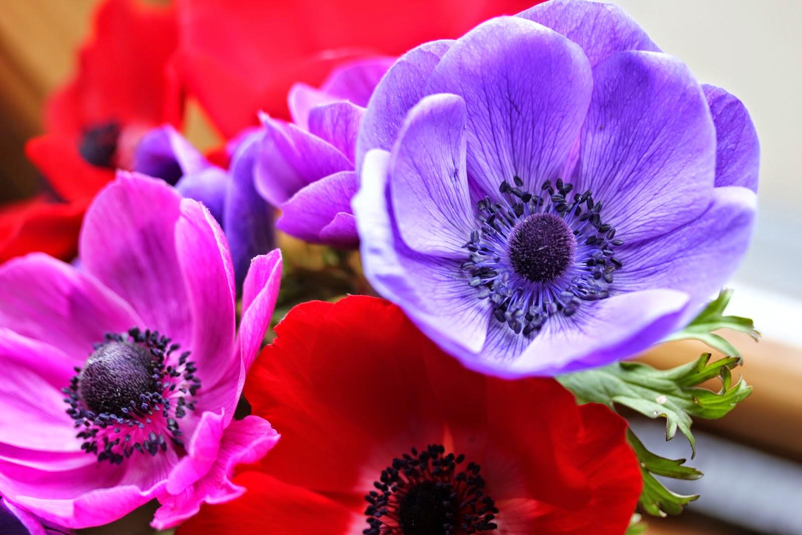 Gėlė plukė (Anemone)