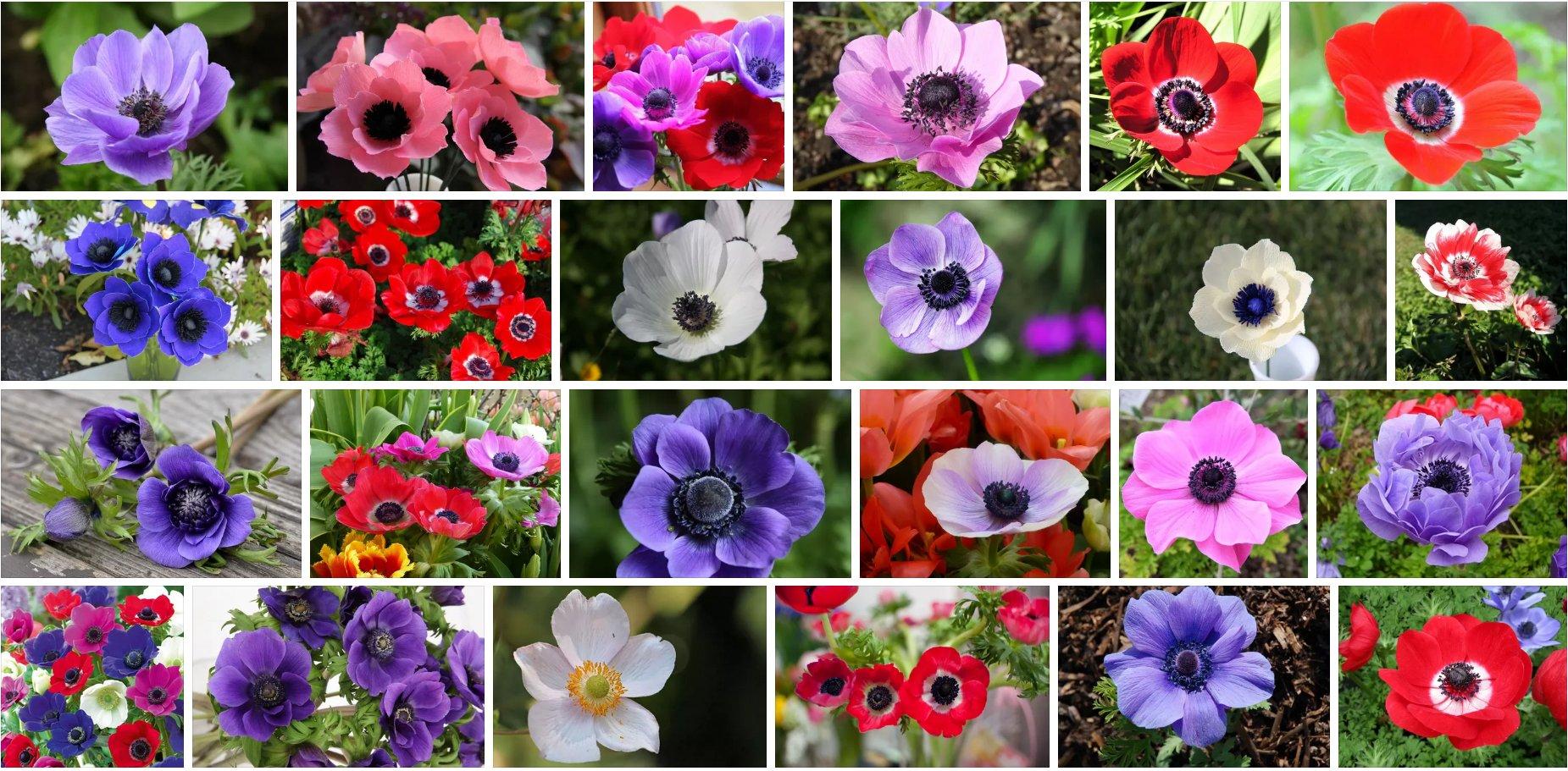 Gėlė Plukė (įvairios rūšys, spalvoti žiedai)
