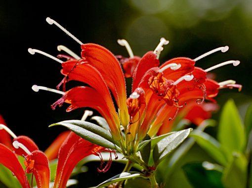 Gėlės nuotrauka. (Pavadinimas: Eschinantas)