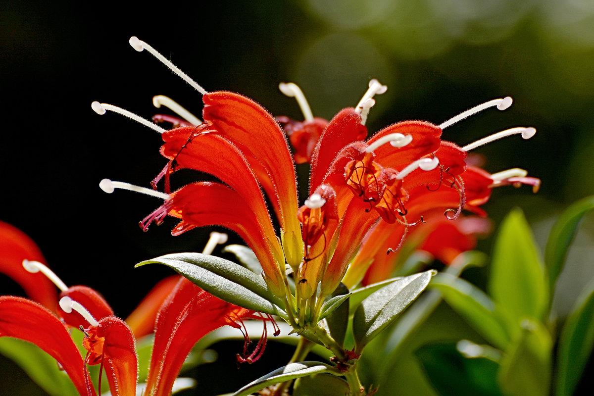 Gėlė Eschinantas