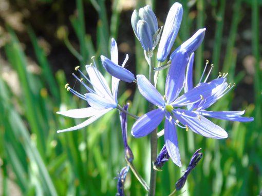 Gėlės nuotrauka. (Pavadinimas: Kamasija)