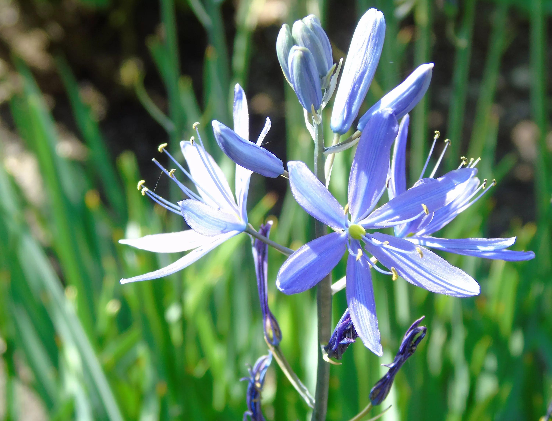 Gėlė Kamasija