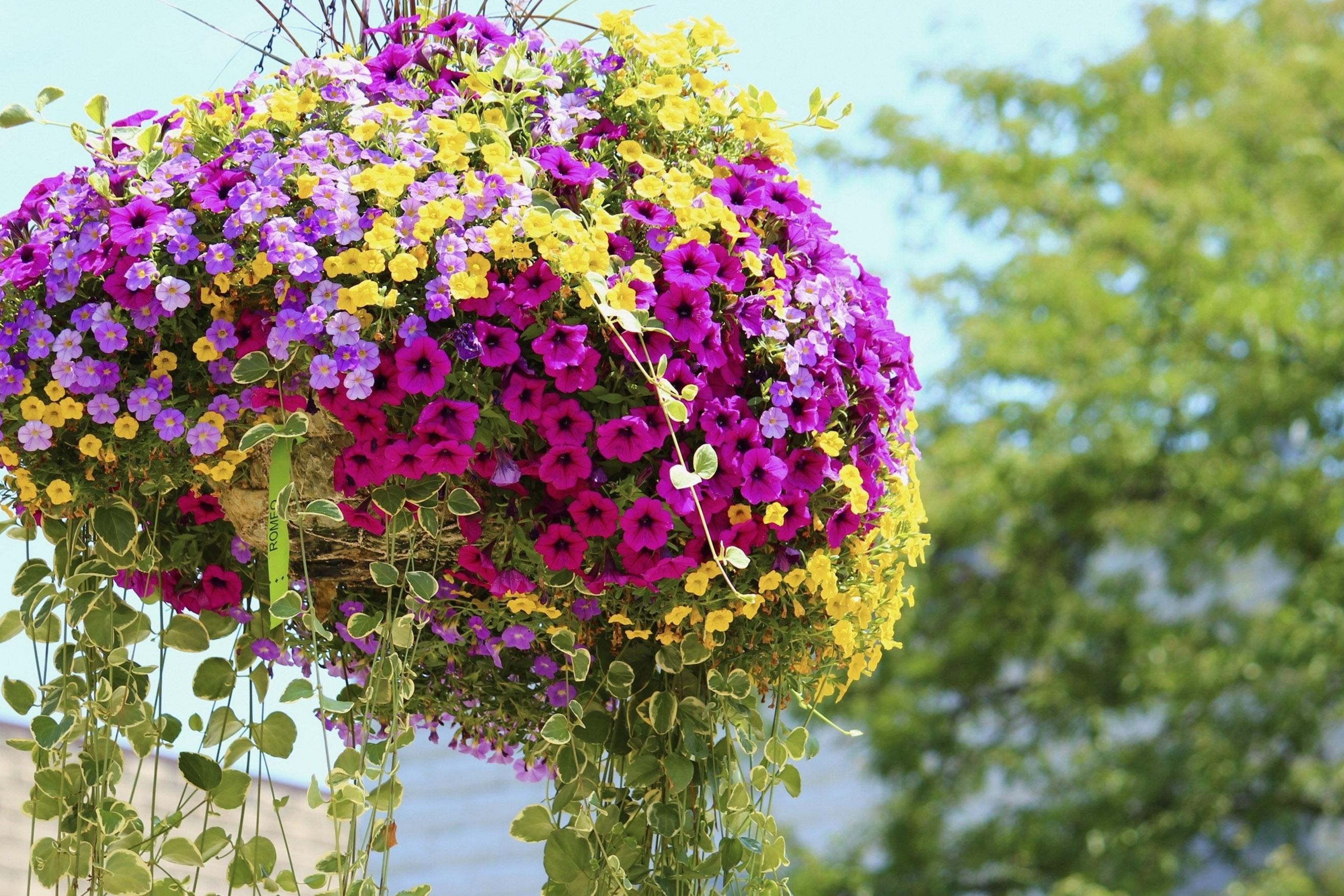 Gėlė petunija lauko vazone