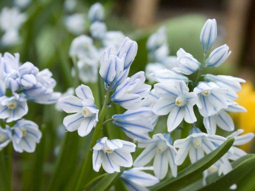 Gėlės nuotrauka. (Pavadinimas: Puškinija)