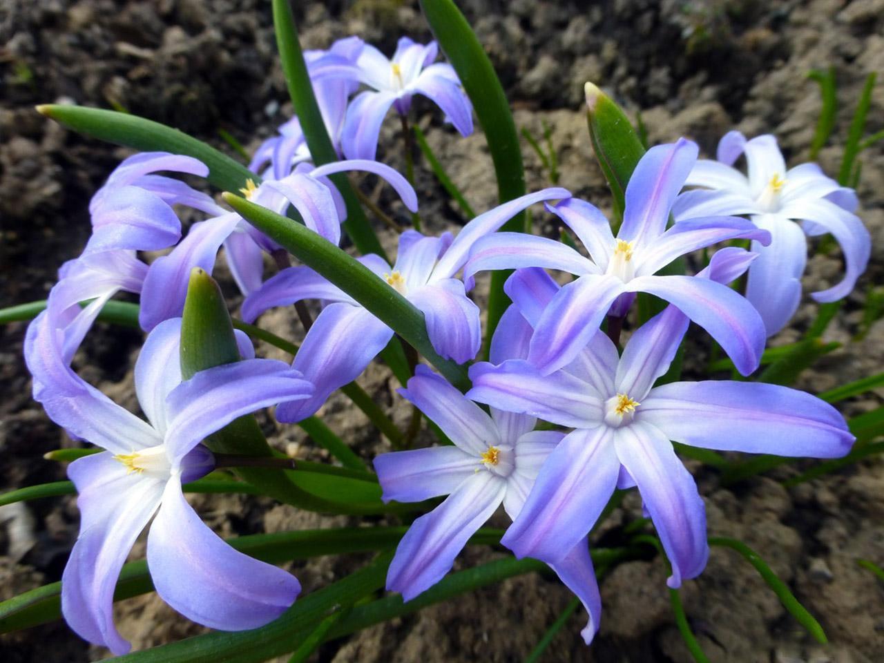Gėlė Sniegžydrė