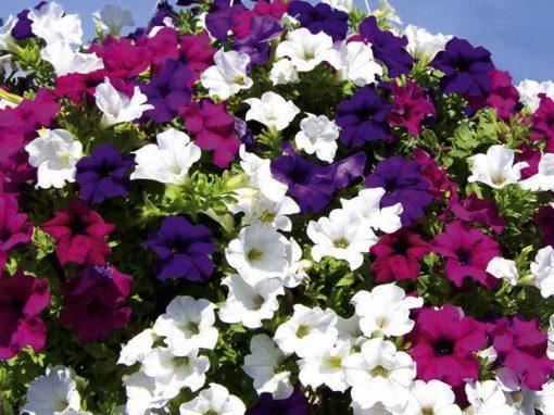 Gėlės nuotrauka. (Pavadinimas: Surfinija)