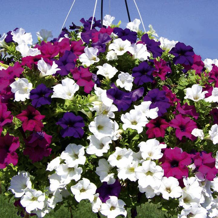 Gėlė Surfinija