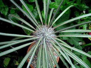 Gėlė tukvis Pachypodium geayi