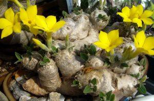 Gėlė tukvis Pachypodium brevicaule