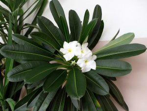 Gėlė tukvis Pachypodium lamerei