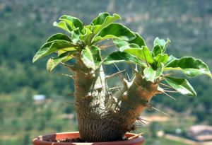Gėlė tukvis Pachypodium saundersii