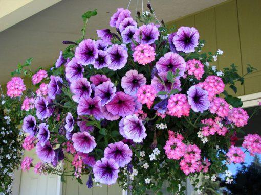 Gėlės nuotrauka. (Pavadinimas: Petunia)