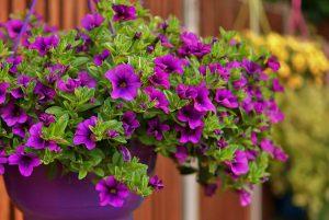 Gėlės petunijos