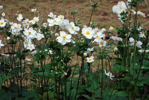 Japoninė Plukė (anemone japonica)