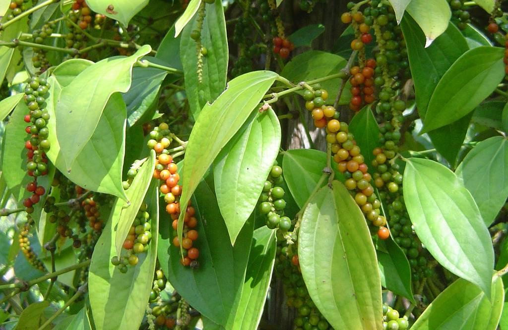 Juodieji pipirai (auginimas)
