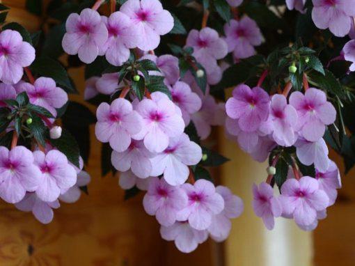 Gėlės nuotrauka. (Pavadinimas: Achimenė)