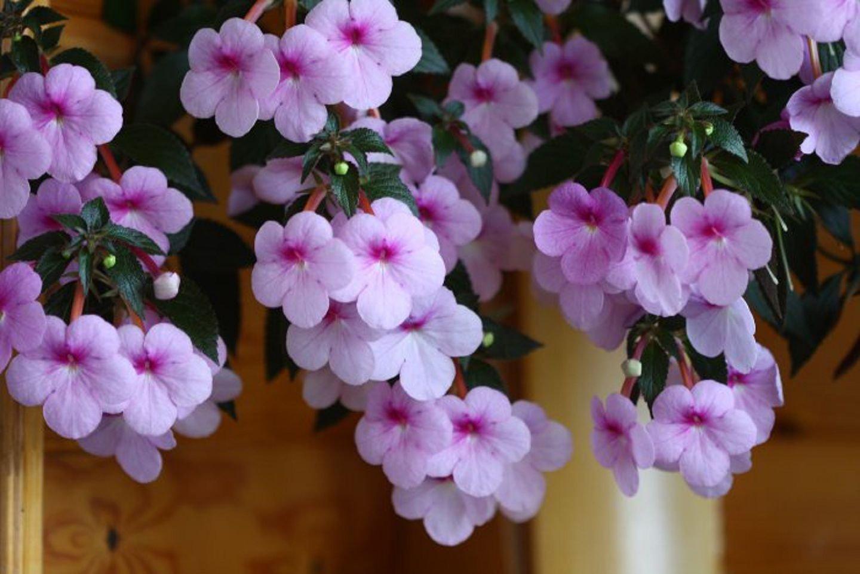 Gėlė Achimenė