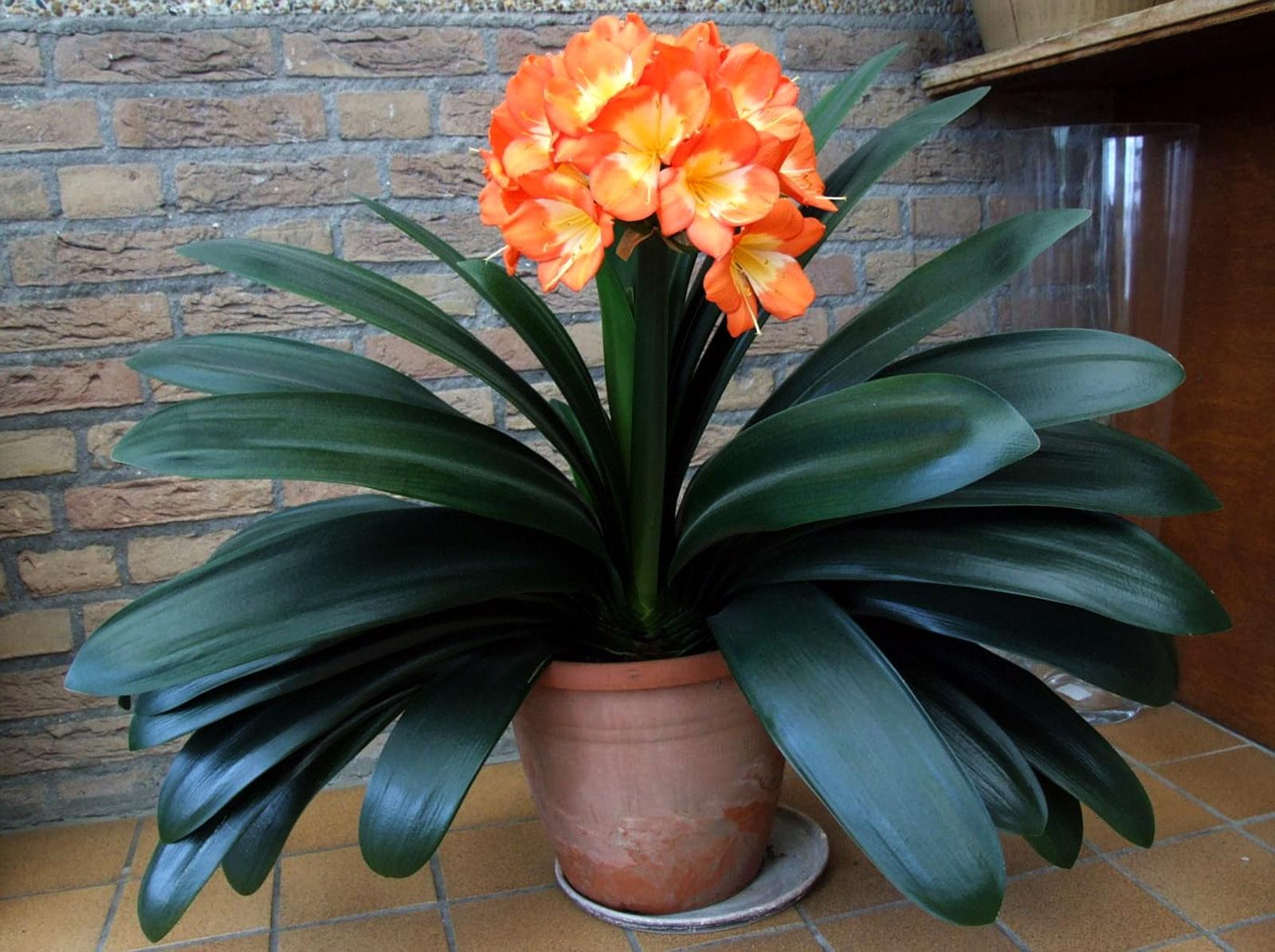 Kambarinė gėlė klivija