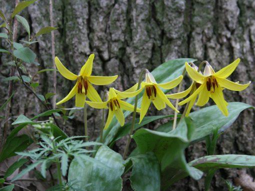 Gėlės nuotrauka. (Pavadinimas: Eritronis)