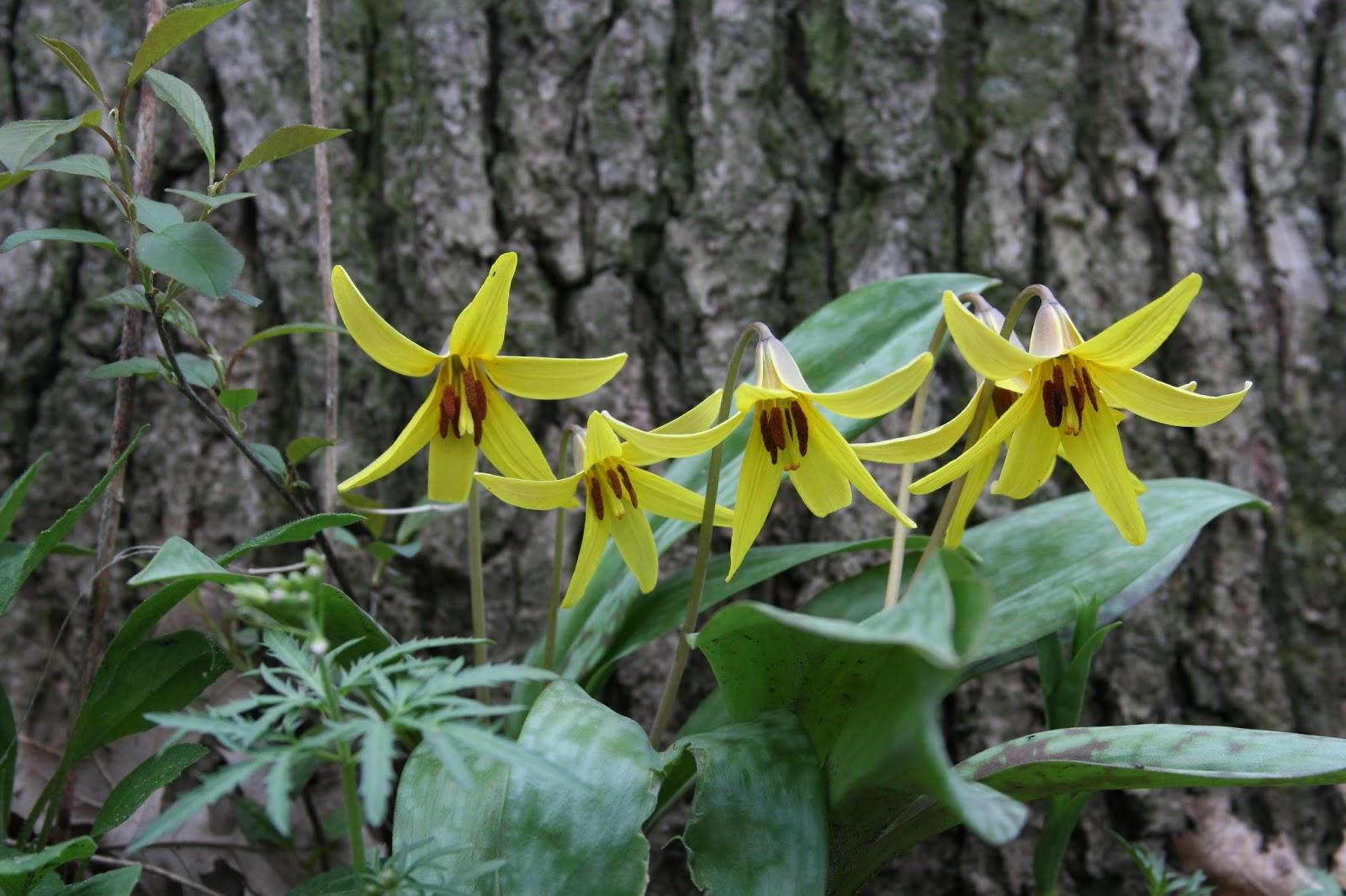 Gėlė Eritronis