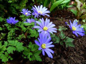 Malonioji plukė (melynos plukės anemone blanda)