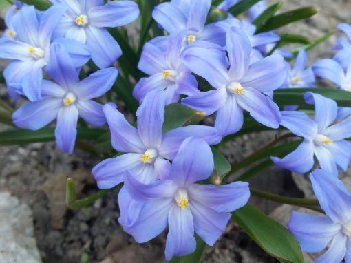 Gėlės nuotrauka. (Pavadinimas: Sniegžydrė)
