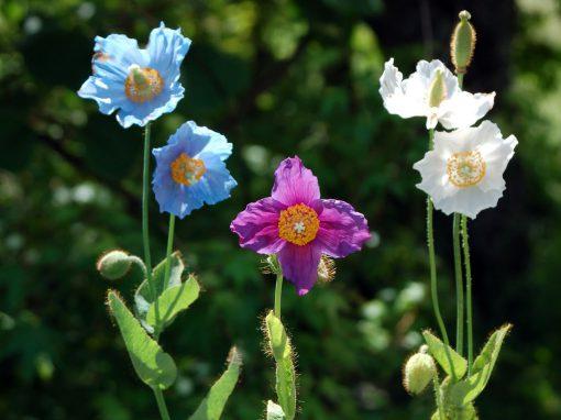 Gėlės nuotrauka. (Pavadinimas: Blue poppy)