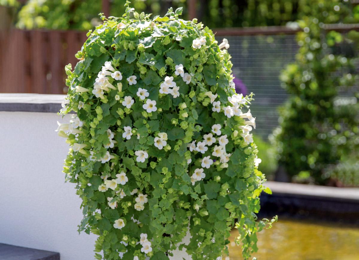 Balta vijoklinė gėlė azarina