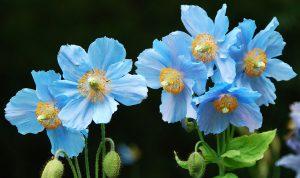 Gėlė aguonaitis