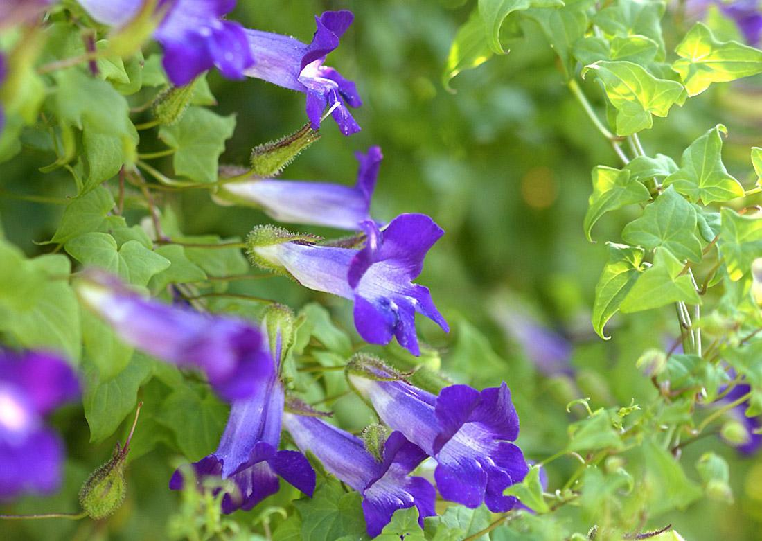 Gėlė Azarina
