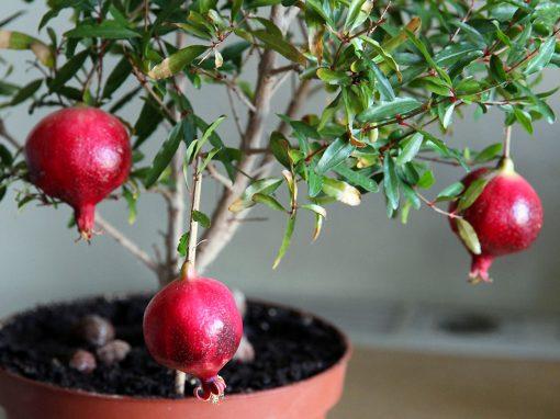 Gėlės nuotrauka. (Pavadinimas: The pomegranate)