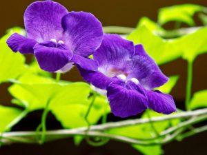 Laipiojanti gėlė azarina