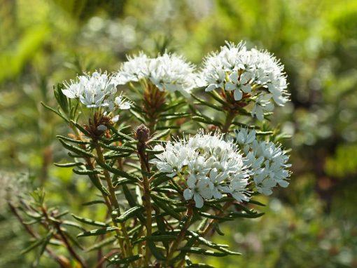 Gėlės nuotrauka. (Pavadinimas: Marsh Labrador Tea)